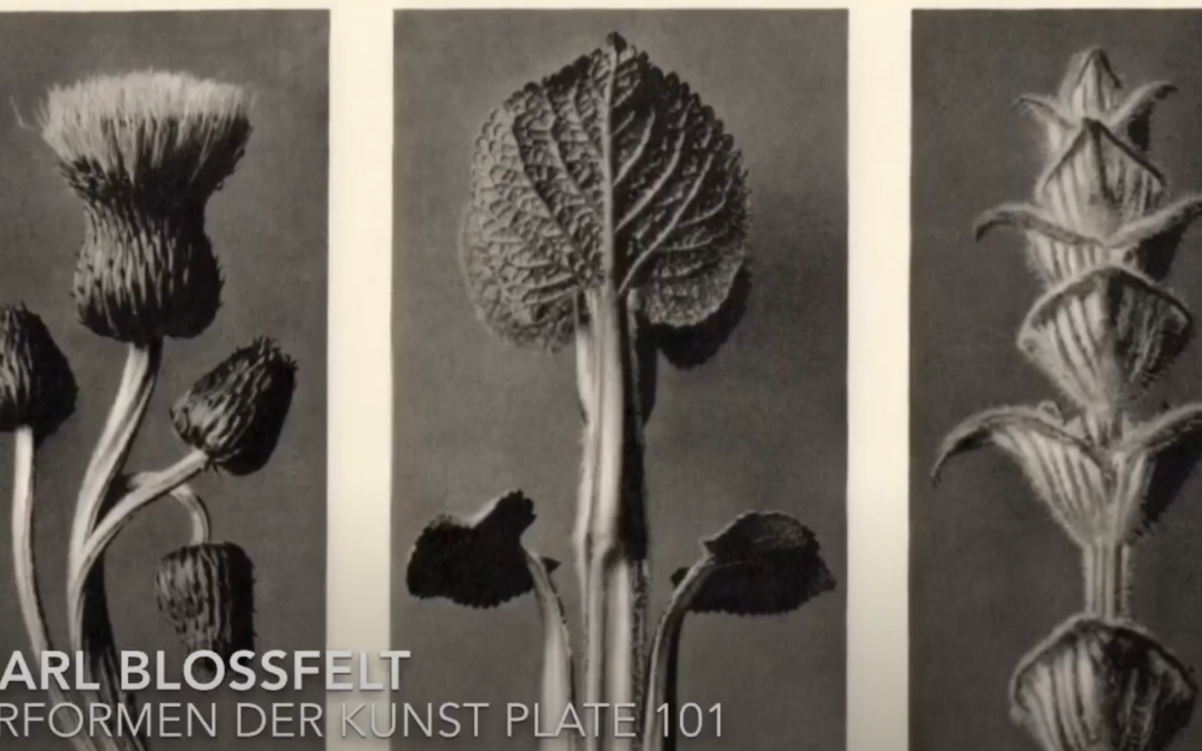 Art From Home: Karl Blossfeldt